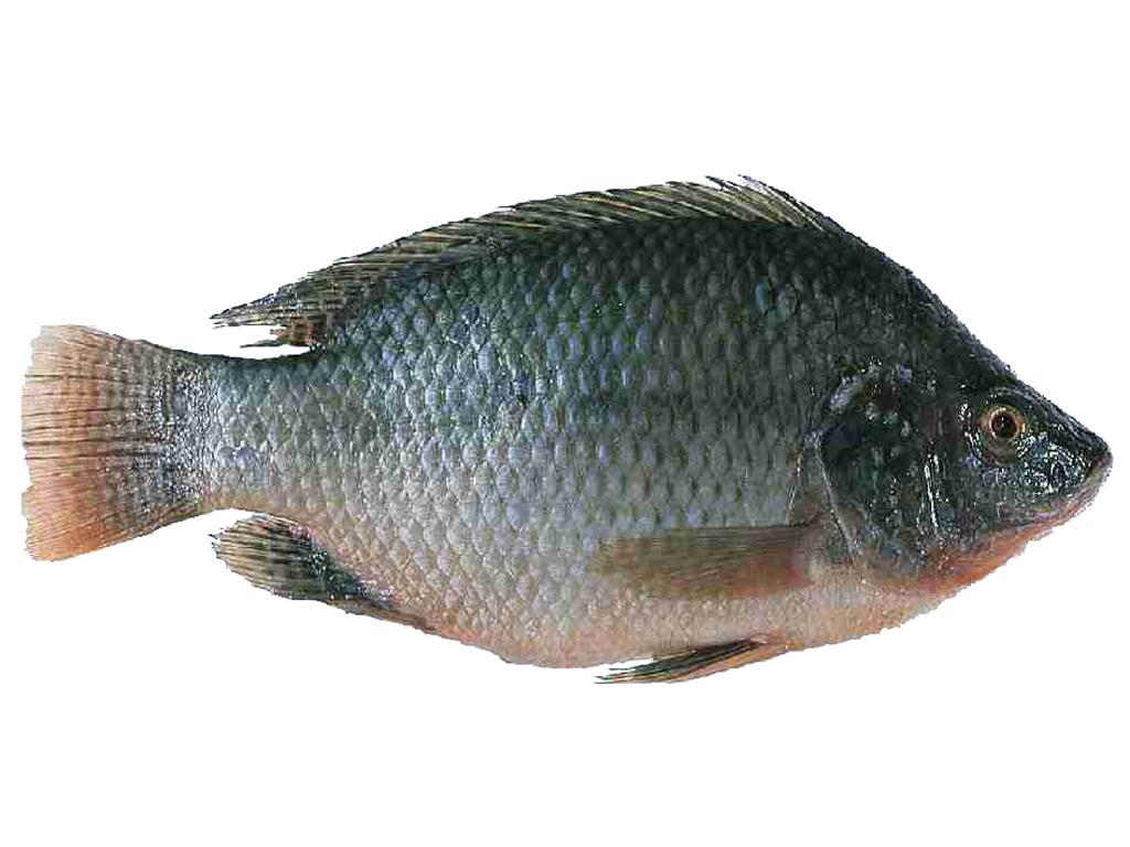 Grobat tilapia fish for Fishing for tilapia